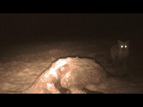 Fieldsports Britain – British big cats and a stolen gundog reunited with its owner
