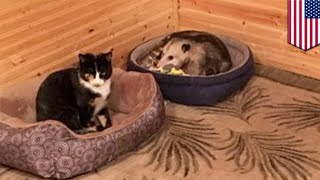 Grandma mistakes opossum for cat: Opossum gets nice granny to take care of him - TomoNews