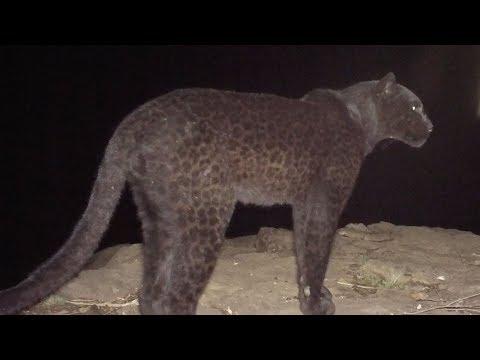 Φωτογράφος απαθανάτισε για πρώτη φορά μετά από 100 χρόνια μαύρη λεοπάρδαλη στην Αφρική (φωτο, βίντεο)