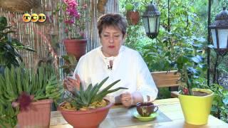 Самые неприхотливые растения - суккуленты видео