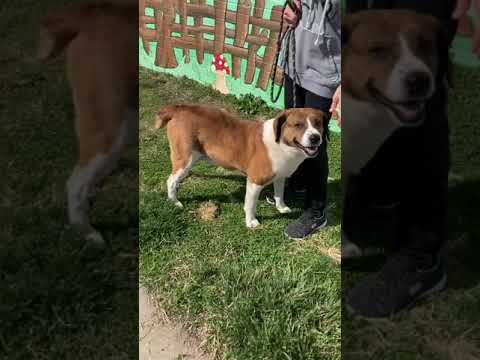 Bruiser, an adoptable Saint Bernard Mix in Trenton, MO_image-1