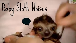 Baby Sloth Noises Compilation