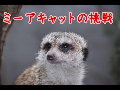 ミーアキャットの挑戦【 ミーアキャット 】【 群馬サファリパーク 】