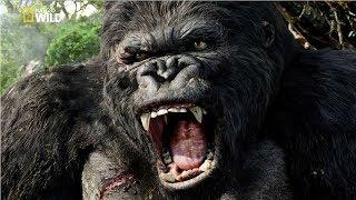 National Geographic Documentary | Mountain Gorilla | BBC Nat Geo Wild