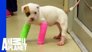 Remember Blanche? Cute Puppy in Casts, with the STINKIEST Poo - Video Youtube