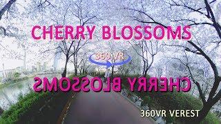 [360 vr] cherry blossoms(석촌호수) timelaps