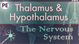 The Nervous System: Diencephalon - Thalamus & Hypothalamus