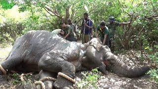 Elephant stabbed 20 - 30 times by a tusker being saved by Sri Lankan Officers