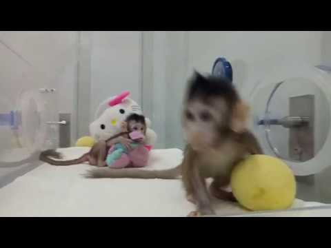 Two monkeys are cloned using the same method as Dolly the sheep.