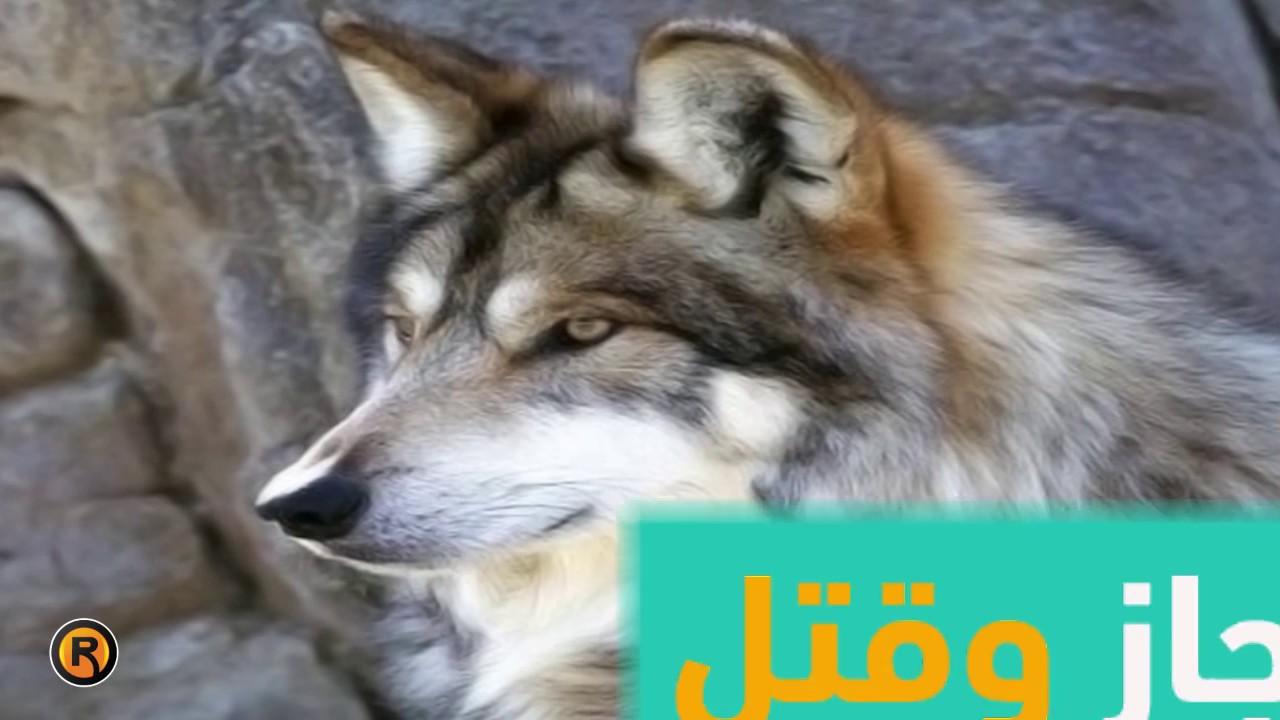 ذئاب البحر الميت في مصيدة الاحتلال