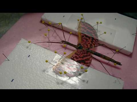 Winged Stick Insect Mounting