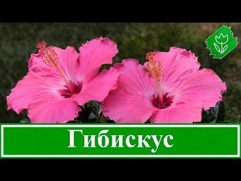 🌺 Садовый гибискус: посадка и размножение, выращивание и уход за гибискусом; виды и сорта гибискуса