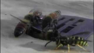 Honey Bees Defending Hive Top Entrance Eco Bee Box