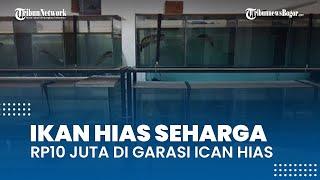 Mengintip Garasi Ican Hias di Depok, Ada Ikan Gabus Hias Seharga Rp10 Juta