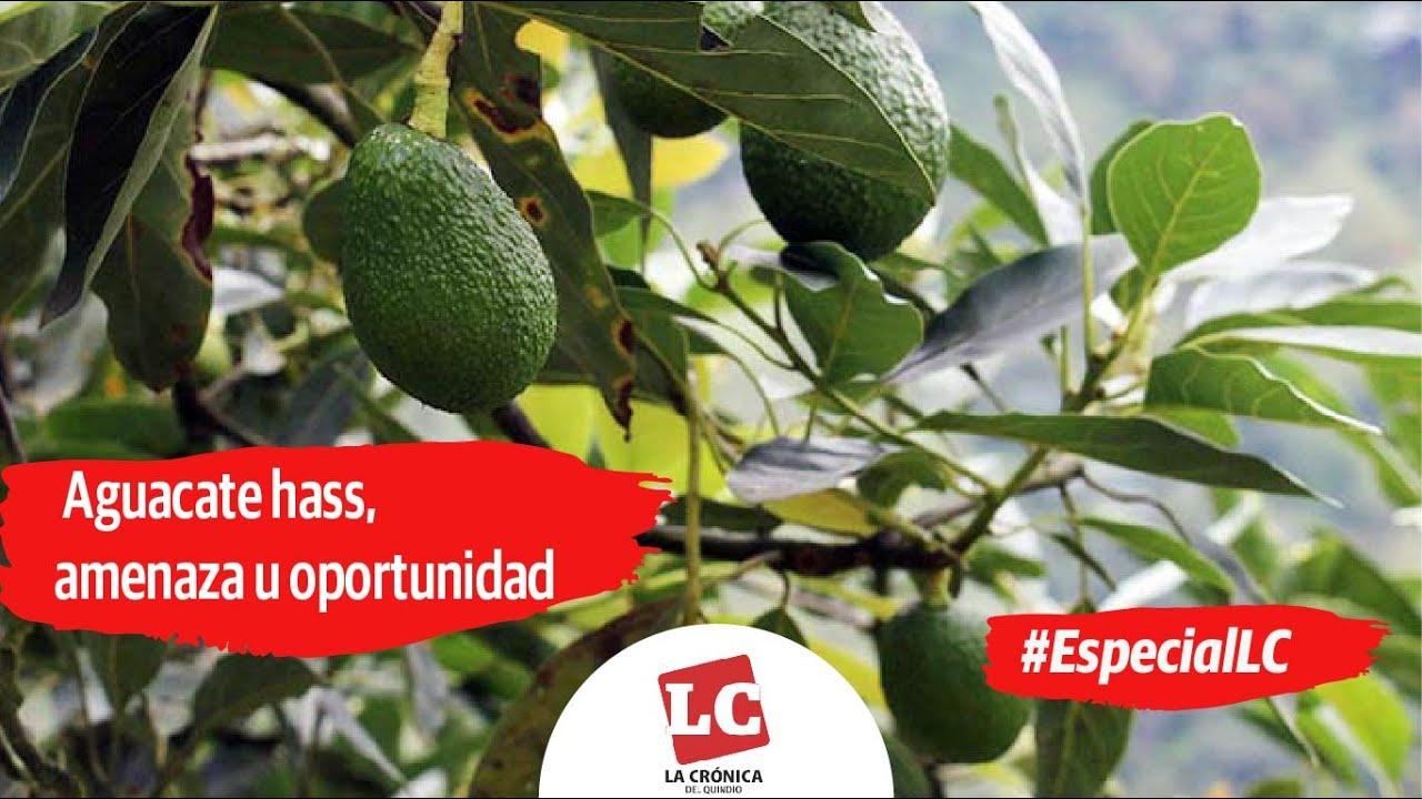 #EspecialLC #EnVideo | Aguacate hass, amenaza u oportunidad