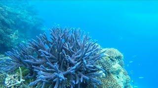 What is coral bleaching? Can it be fixed?