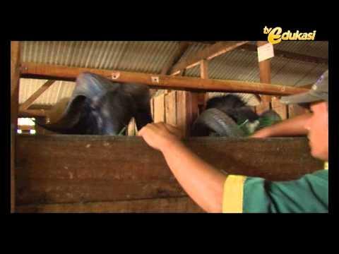 Video cara berternak domba dan perawatan part 2