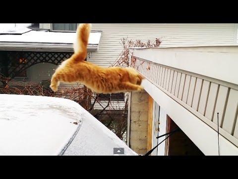 當肥貓咪準備就緒跳過對面平台時... 忍不住笑了!