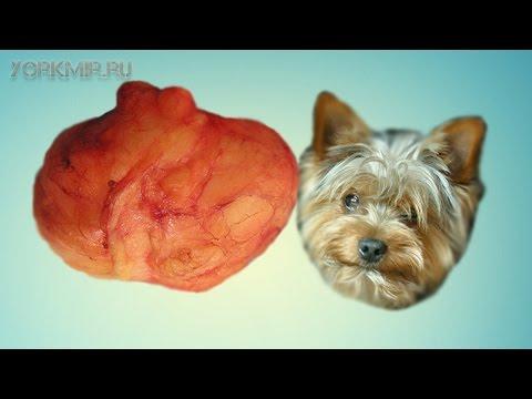Липома у собак | Что такое | Виды | Лечение.
