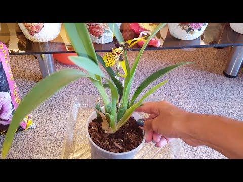 Цветение орхидей и пересадка Банфилдары