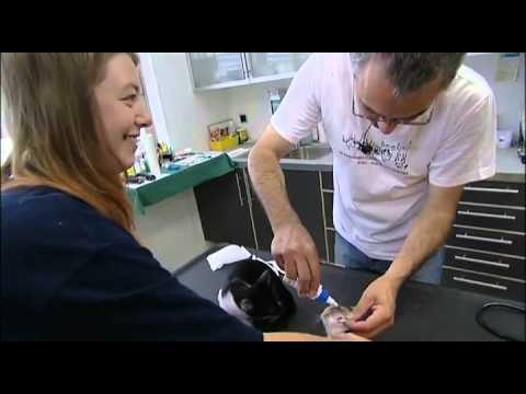 Die Behandlung der Würmer vom Kastoröl