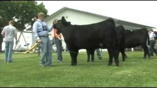 Fitting and Showing Angus Cattle, Part 2   Kholo.pk