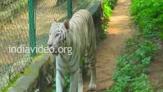 Tiger at the zoo, Bangalore