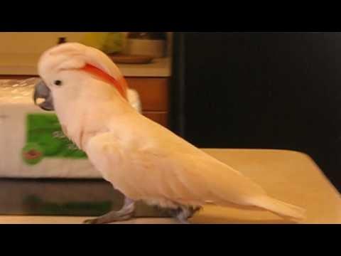 Артистичный попугай