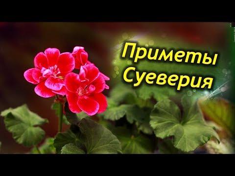 Герань в доме! Приметы и суеверия о цветке. Стоит ли держать герань дома?