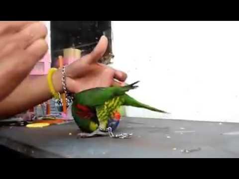 Video burung nuri pelangi maluku pintar