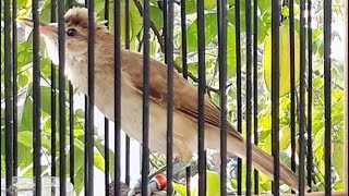 Burung Kerak Basi Besar Gacor Suara Unik