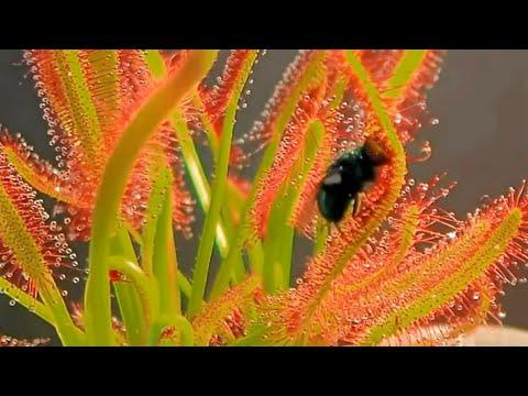 Video Top 10 Tanaman Karnivora Paling Menakjubkan di Dunia