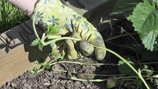 Размножение усами садовой земляники видео