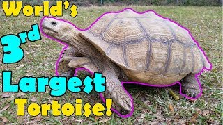 Sulcata Tortoises: Facts and Care Tips!
