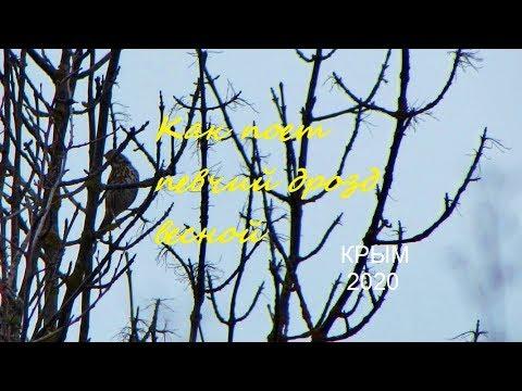 Дрозд певчий Turdus philomelos пение весной, Крым, дубовый лес около Судака, Songbird