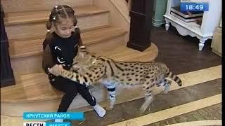 Африканского хищника сервала завела иркутская семья