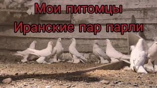 #развлечение#голуби Красивые Иранские голуби Пар парли. О голубях,ворах. Поскриптум.P.S.