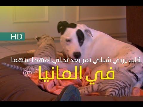 كلب يربي شبلي نمر بعد تخلي امهما عنهما