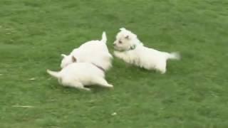 Junior Yoder's West Highland Terrier Pups
