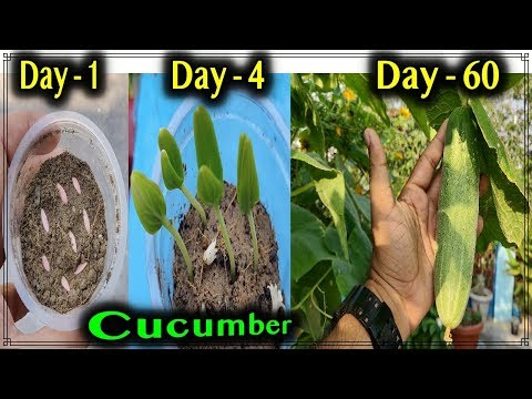 , title : 'Best method to grow Cucumber Plants from seeds at home - From seedlings to harvesting 60 days update