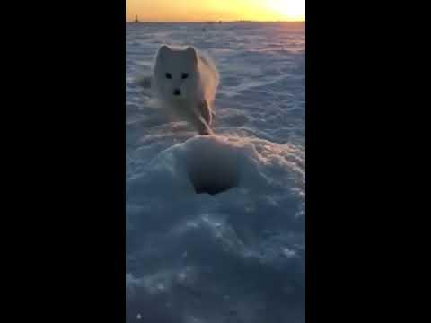 Sympatyczny lisek polarny usiłuje podwędzić rybę wędkarzowi