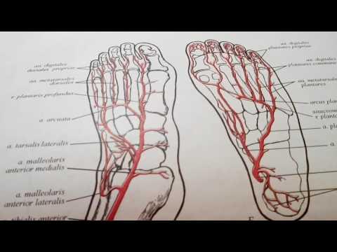 3 24 Артерии и вены стопы