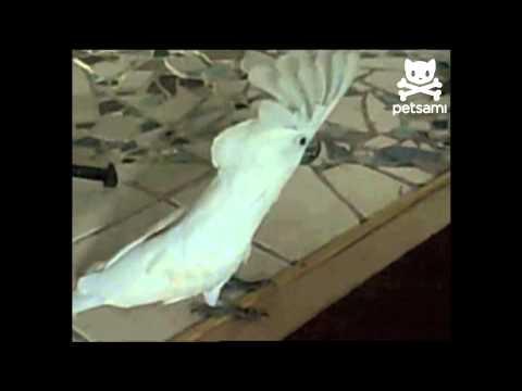 Il pappagallo che abbaia