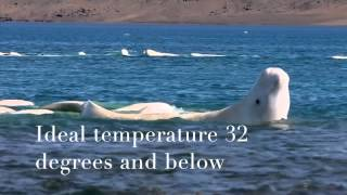 Unnoticed Endangered Animals: Beluga whale & Narwhal