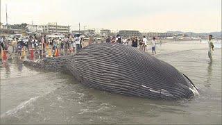 絶滅危惧種のクジラと判明神奈川・由比ガ浜18/08/06
