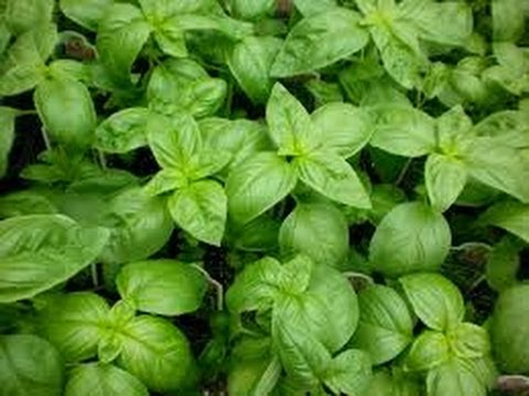 Video Uses of basil in daily life.