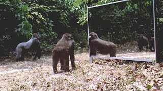 Silverback gorilla ignores his reflection - un gorille dos argenté ignore son reflet dans le miroir