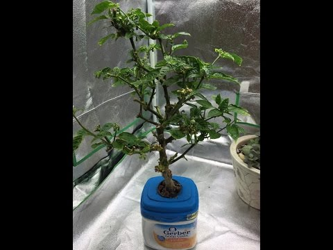 , title : 'How to Make Your Pepper Plants Produce All Season