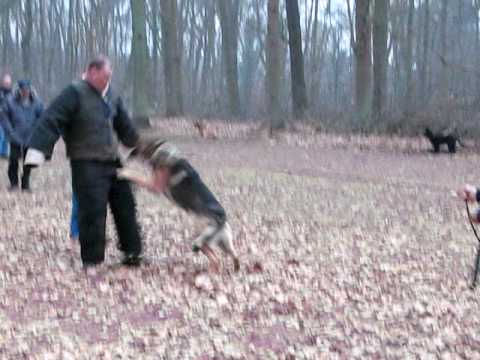 German Shepherd Alsatian Dutch Police Dogs VANZWEDENLAND