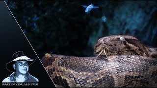 Feral Bees Arrive At Python Nest 02